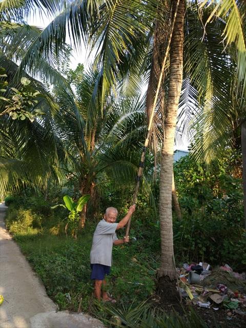 ココナッツまで金具の付いた棒を伸ばして穫るのだが、もはや木が高すぎて画面に収まらない。