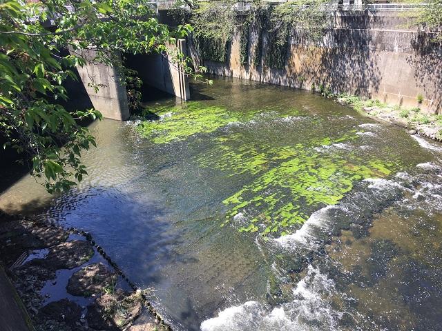 妙正寺川との合流地点。川底には水草が生えている
