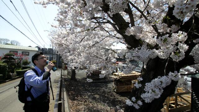桜を探して歩き回りながら花見を楽しむ花見散歩の提案と実践です