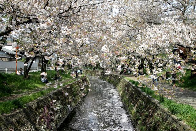 既にだいぶ散ってしまってはいるが、実に見事な桜並木である