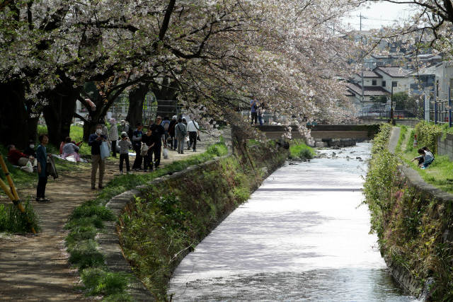 引地川の水面は散った花びらで埋め尽くされていた。満開の時には見られない、散りぎわならではの光景だ