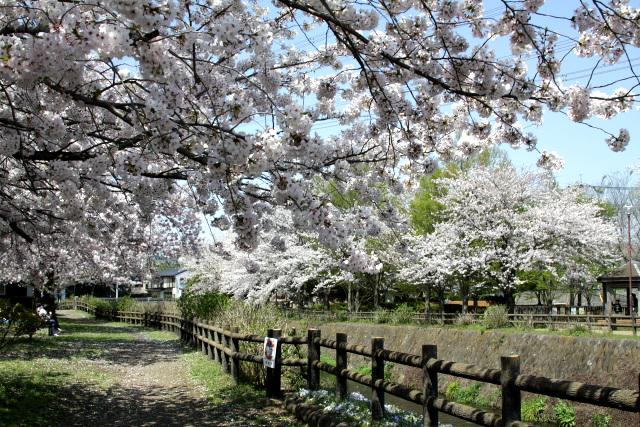記憶にあるよりも桜の木が多く、ちょっとだけ驚いた