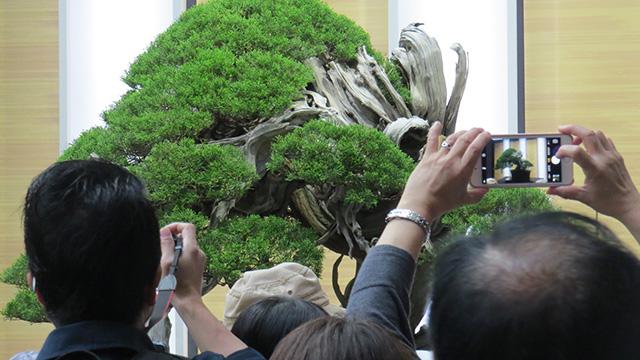とにかくみんな撮る! それにしても立派な盆栽だ。じっと見てると「好きになっちゃうからだめ」という心理がはじめて理解できた。