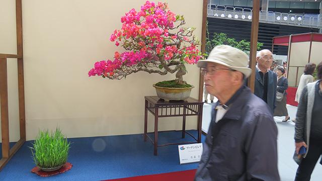 沖縄から出品された盆栽はブーゲンビリア。なるほど、地域色がある
