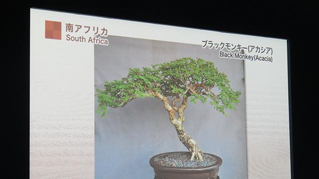 アフリカの盆栽はアカシアの木。おおワールドカップっぽい…
