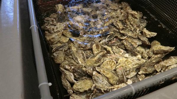深層水で浄化されているカキ。これを自分で焼いて食べる。