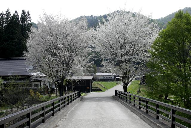 関東の桜はとっくに散っているが、標高の高いここではまだ咲いていた