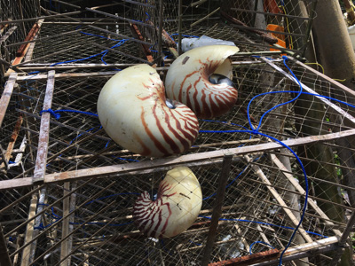 カゴのかたわらにはオウムガイの貝殻が!期待は高まる。