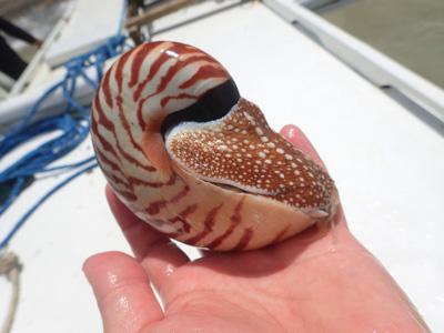 手で掴むと貝殻の中へ体を引っ込める。固いおでこのような部分は「ずきん」と呼ばれ、サザエのフタのようにしっかりと殻の口にフィットする。防犯対策はバッチリだ。