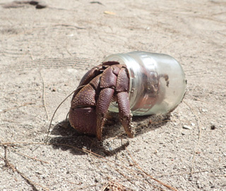 ビーチで見かけたオカヤドカリはガラス瓶を背負っていた。生きた化石の貝殻が転がる海辺において、彼が選んだのは人工物でした。