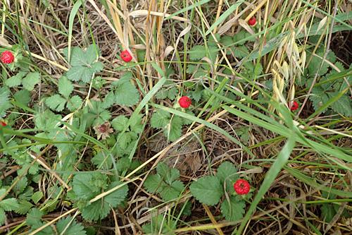 枯草の中で隠れるように生えていたけれど、赤いので目立ちまくり。