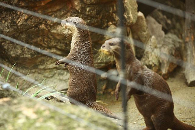2頭そろって立つとミーアキャットみたいですね。(上野動物園)