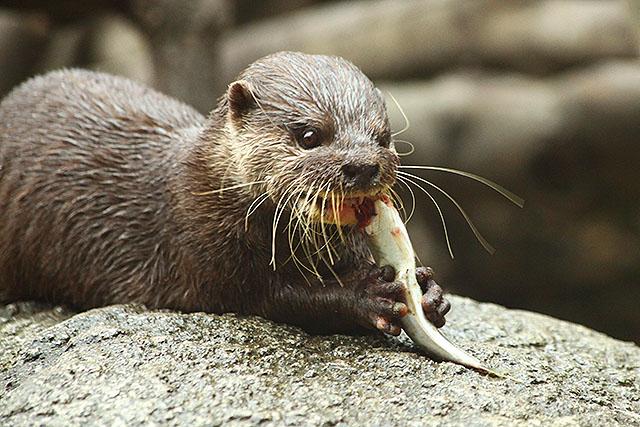 魚を両手でしっかり持ってかじる。(上野動物園)