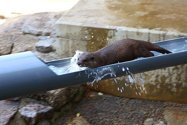 水しぶきを上げて走るカワウソがかっこいい。