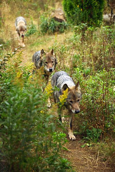 狼も集団行動するが、こちらはかわいいというよりは、かっこいい。