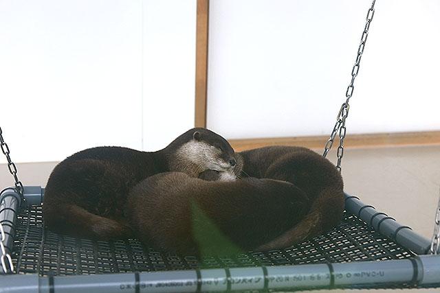 寝るときはみんなで丸まる。(サンシャイン水族館)