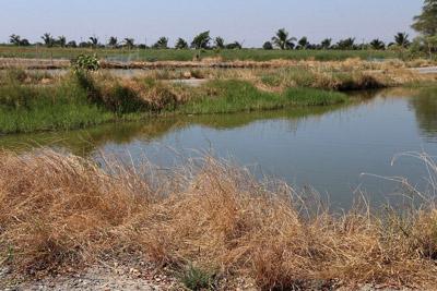 秘境のジャングルでもなんでもなく、タイならば各地にありふれた田園地帯が舞台。私有地なので、魚採り(釣り)をする際は地主さんにチップを支払って交渉する。