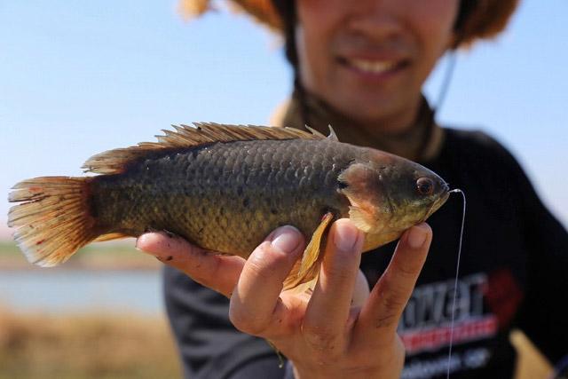 一見すると特徴のない小魚にだが、間近で観察するとけっこう個性的。特に蝶番状のエラがメカっぽくてかっこいいのだ。