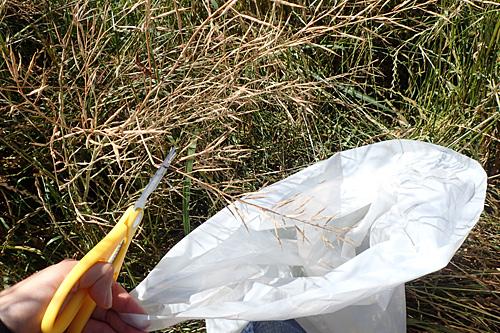 大きなビニール袋の中に枝ごと収穫していく。