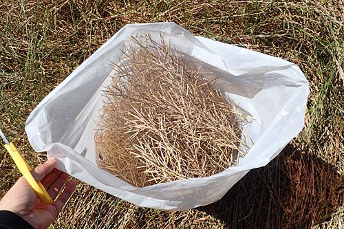 いくらでも収穫できるが、こういうのは収穫してからの手間が大変だろうなと予測して程々にしておく。