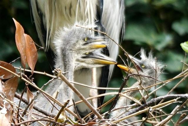 奥の1羽が際立ってでかい。一番小さい右との差が明確。