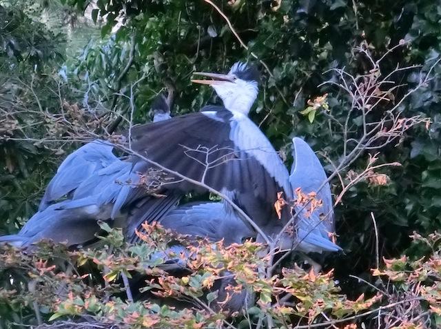 もつれあう4羽の巨鳥。夕暮れ時の高ISO画像でお楽しみください。