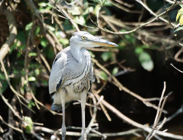 近くの水辺に幼鳥がいたが、あのヒナかどうかは確かめるすべもない。