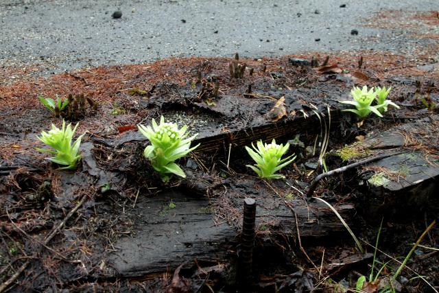 朽ちた木材にも、フキノトウは生えるものなのだ
