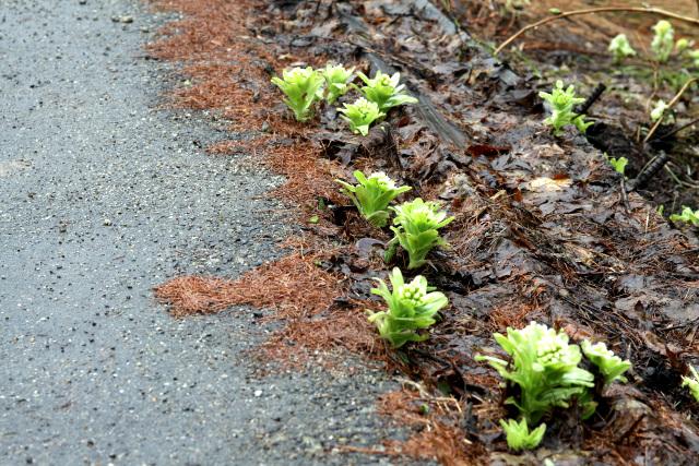 路地にはみ出た枯草にもフキノトウ。土のない場所にも根付いている