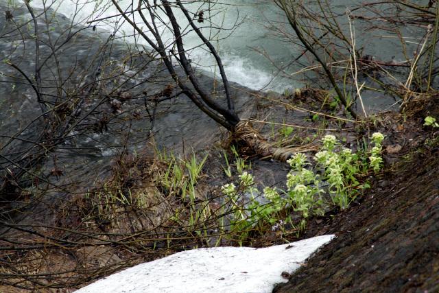 側を流れる川岸にもフキノトウが花茎を伸ばしていた