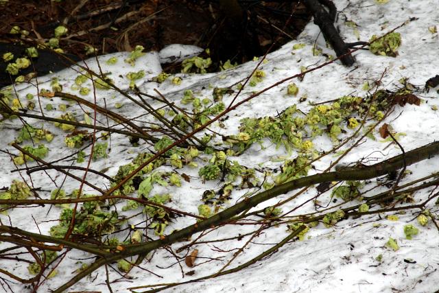 あまりに増えすぎたのだろう、雪の上に刈られたフキノトウが打ち捨てられていた。無残である
