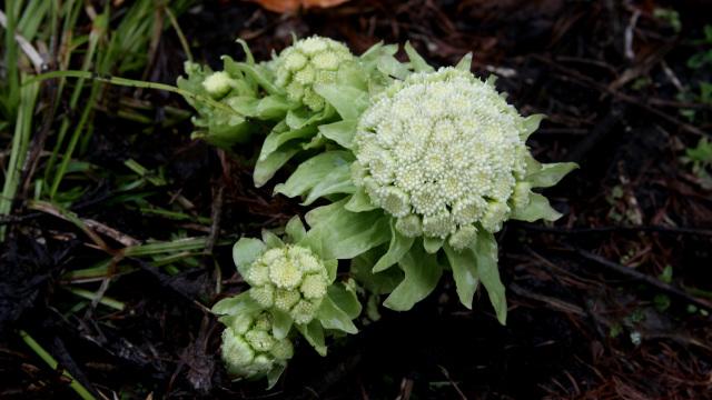 春の風物詩「フキノトウ」は想像以上にたくましい植物でした