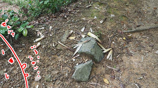 サルに食い荒らされたタケノコ。佐和山は怖いものが多いな。