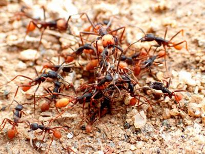 不幸にも彼らの進路に飛び出した昆虫が餌食に。一瞬のうちにたかられ、バラバラにされてしまうので被害者の正体すら判別できず。