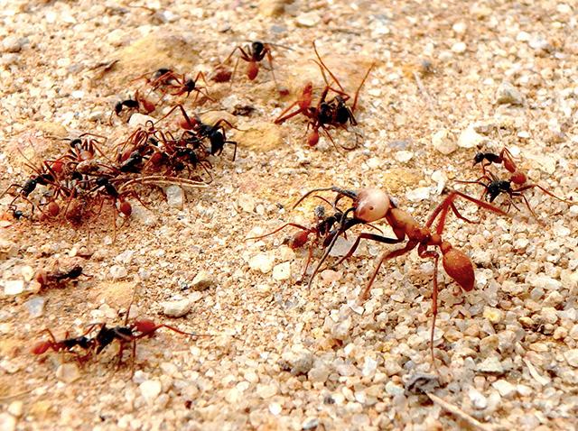 よく見ると、体の大きさや形の違うアリが共に行動している。小さいのが働きアリで大きいのが兵隊アリだ。