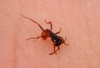 身体の小さな働きアリも敵には果敢に咬みつき、毒針を叩き込んでくる。アゴがペンチのような形状をしているため、咬みつかれると兵隊アリに勝るとも劣らず痛い。
