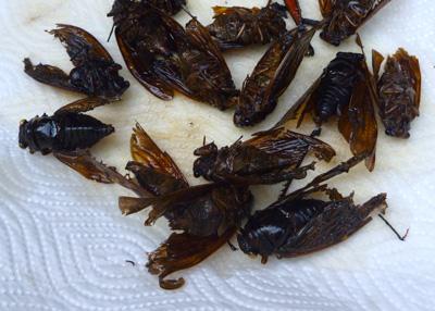 セミの成虫を素揚げにしたもの。昆虫料理の中ではかなり食べやすい部類。アブラゼミを使うと全体的に茶色くなりすぎて色味がよくないのが残念。