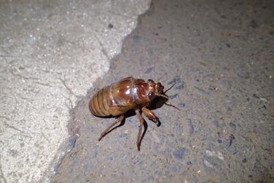 懐中電灯で地面を照らすと、羽化に適した場所を探してさまよう幼虫の姿があちこちに。そのままでは踏みつぶされそう、車に轢かれてしまいそうなものを拾い集める。結局、人の手によって蝉生に幕を降ろすことには変わりないのだが。