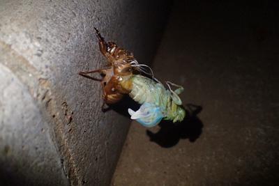 どうしても樹木にたどり着けず、縁石で羽化する個体も。朝までアリに襲われず無事に飛び立てるといいが。