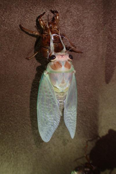 伸びた翅が蝋細工のように白いのはアブラゼミ。