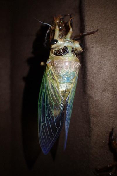 緑や青みが乗る透き通った羽を持つのはクマゼミ。かつて首都圏ではあまり見られなかった種だが、近年増加傾向にあるのだとか。