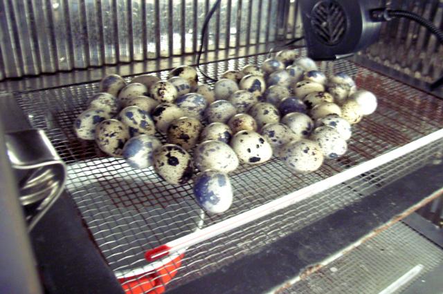 ウズラ卵50個と小型ファン、セッティング完了。