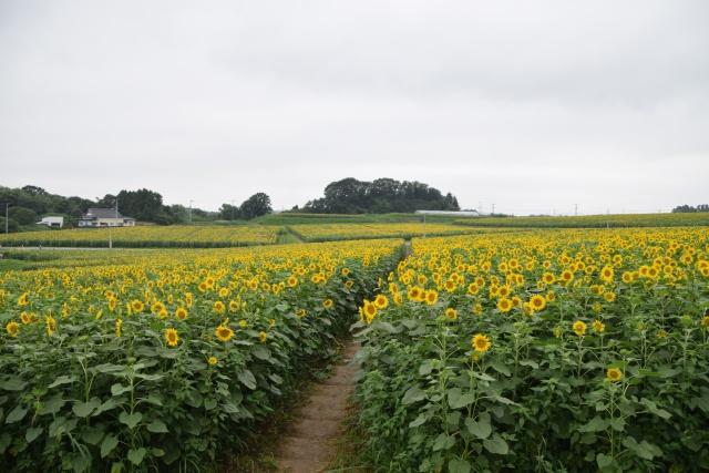 地平線まで黄色いのは気のせいだろうか。