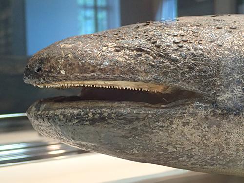 うかつに手を出すと、この口でガブリとやられる可能性が高いので気をつけましょう。写真は鳥取県立大山自然歴史博物館の剥製。