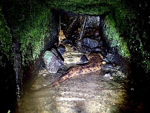 穴の奥に横たわるオオサンショウウオ、ゾクゾクします。