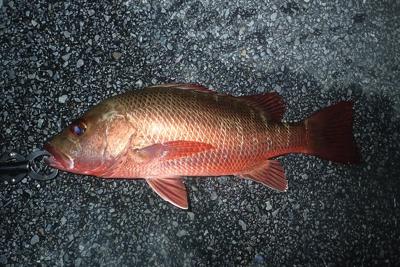 これはちょっと大きなゴマフエダイ。沖縄ではカースビーという。おいしい魚だが、釣り上げると高確率でうんこを漏らす。