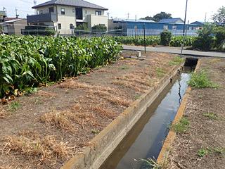 クワイ畑と田んぼの間を流れる用水路。ここは絶対にいるなとピンときたね。