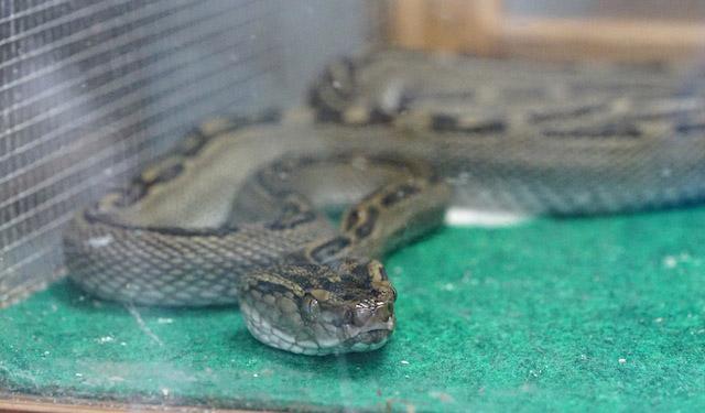 背中に一筋の斑紋が通る。久米川ホタル館で展示されていた個体。