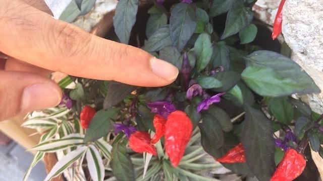 珍しいトウガラシの花