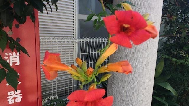 ノウゼンカズラは夏から秋にかけて咲く季節の花
